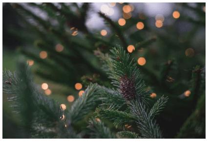 fir tree, fir tree care